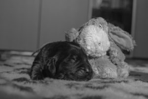 pet photography - puppies of newfoundland