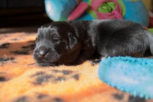 pet photography - puppies of newfoundland
