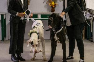 2 alani ad un matrimonio_ Dog Special Guest